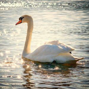 Swan emotional health
