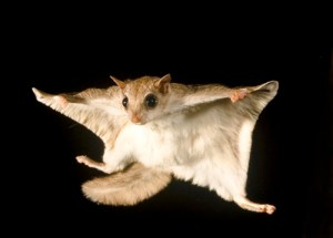 Southern Flying squirrel, Glaucomys volans, voplaning or gliding at night, steering with its tail to maintain balance and direction