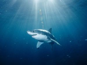 A Great White Shark in its habitat. Photo: National Geographic