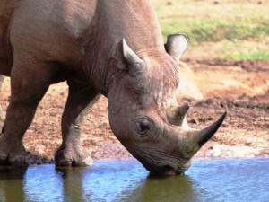 Rhino addo 1