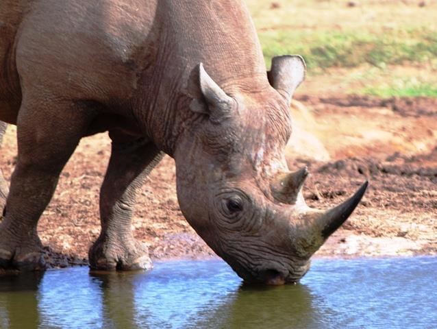 addo elephant park rhino