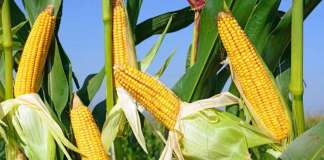 Is Corn Good for You