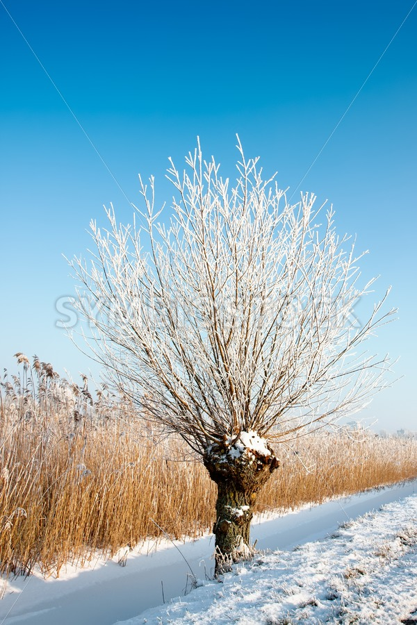 Frosty Pollard Willow - Jan Brons Stock Images
