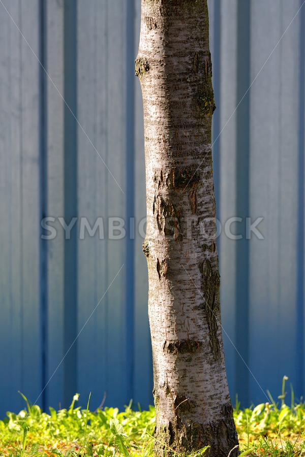 Steel sheet piling wall birch tree - Jan Brons Stock Images
