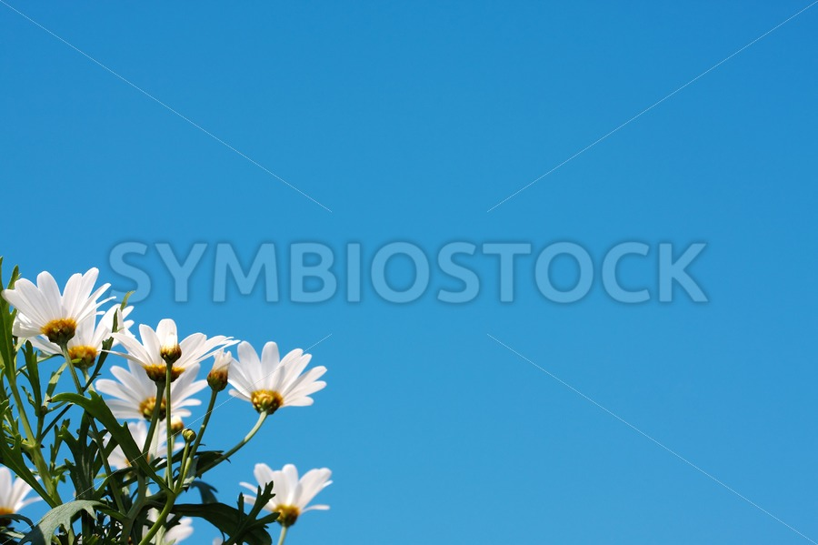 The beautiful daisy - Jan Brons Stock Images