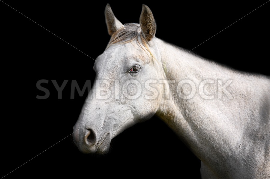 White Horse on Black Background - Jan Brons Stock Images