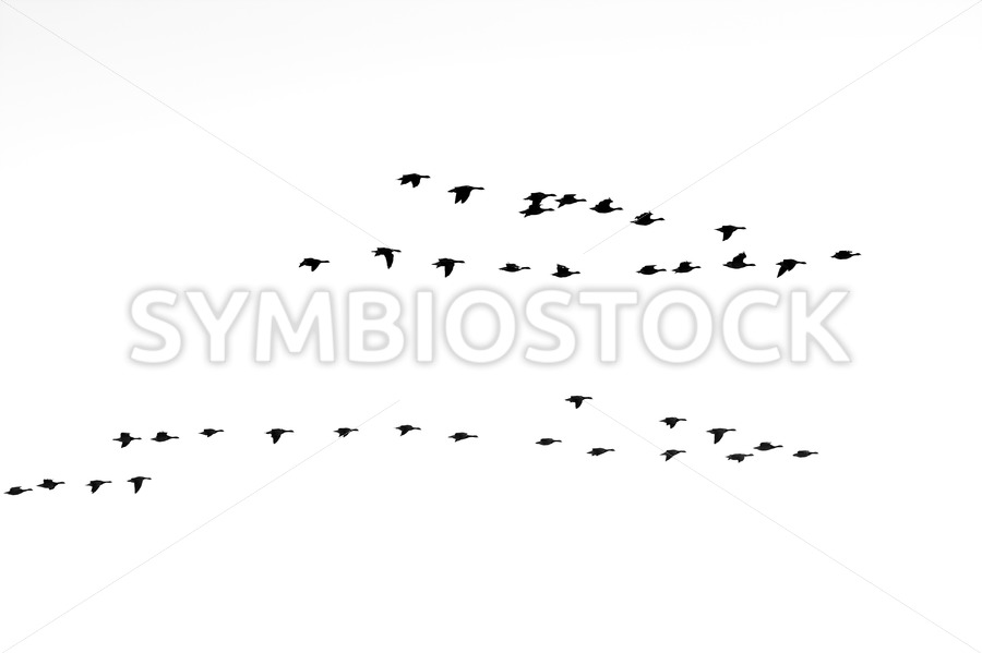 Geese flying in V formations - Jan Brons Stock Images