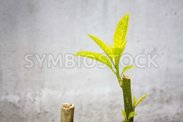 Brugmansia leave and branch - Jan Brons Stock Images