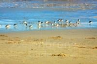 Wadden Sea - Stock Image: Redshanks Feeding On The Waddensea