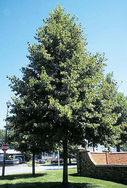 Image result for redmond linden tree