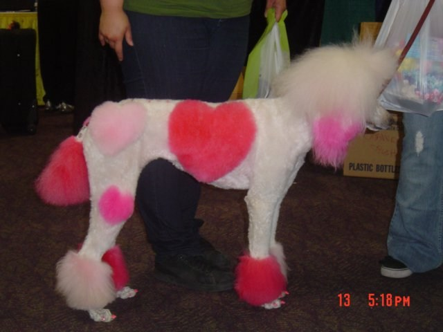 Valentine's Day poodle