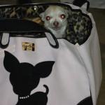 White chihuahua in a JCLA Te Quiero Chihuahua Rescue me tote