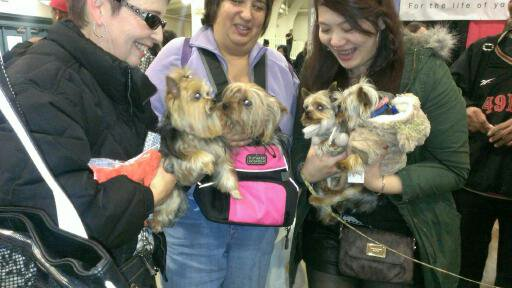 Yorkies unite at the JCLA booth in San Jose