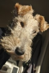 Lace production supervisor Jack the Wire Fox Terrier