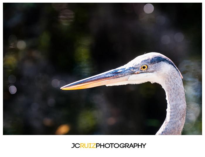 Great Blue Heron Everglades
