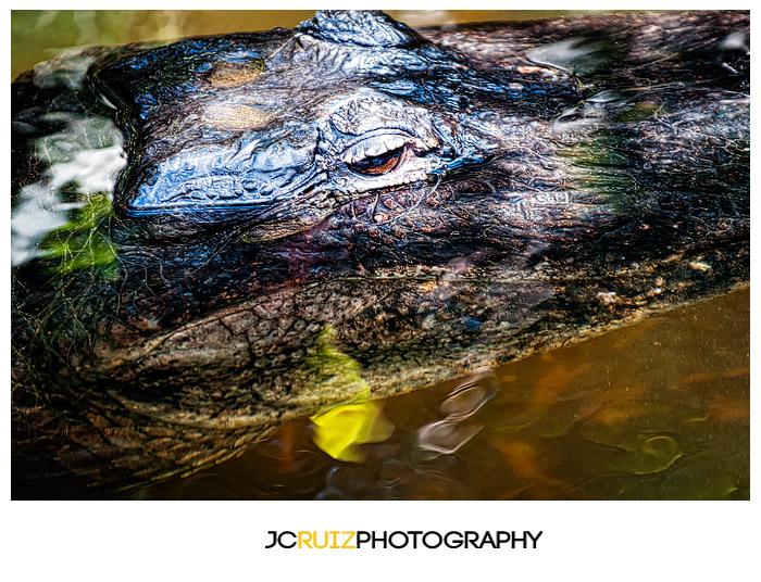 Shark Valley Alligator