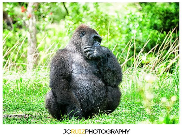 Zoo Miami Gorilla