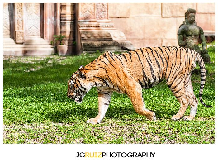 Zoo Miami Tiger