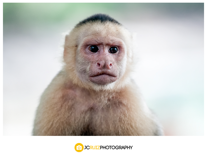 Costa Rica White Headed Capuchin