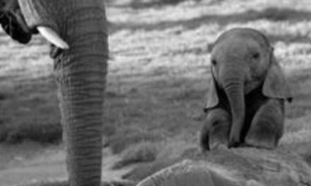 Un troupeau d'éléphants aide un éléphanteau en usant d'intelligence!