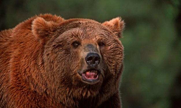 Conservation des grands carnivores en Europe: le WWF s'associe à une nouvelle plate-forme européenne