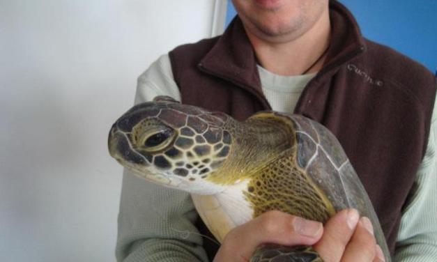 Ils reconstruisent la carapace détruite d'une tortue!