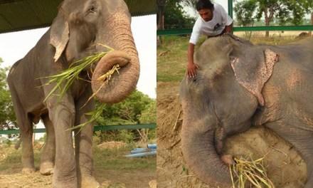Libéré de 50 ans d'esclavage, cet éléphant va remercier ses libérateurs de manière très émouvante.