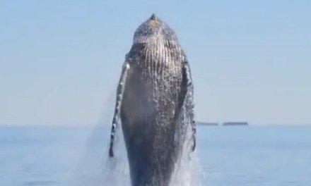 Il y a des histoires qui ne méritent pas vraiment qu'on les raconte. Mais plutôt qu'on les montre. Celle de cette baleine en est une.