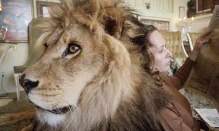 L'actrice Tippi Hedren (mère de Melanie Griffith) et sa famille ont vécu aux côtés d'un lion pendant plus de 10 ans, découvrez leur étonnant quotidien en images
