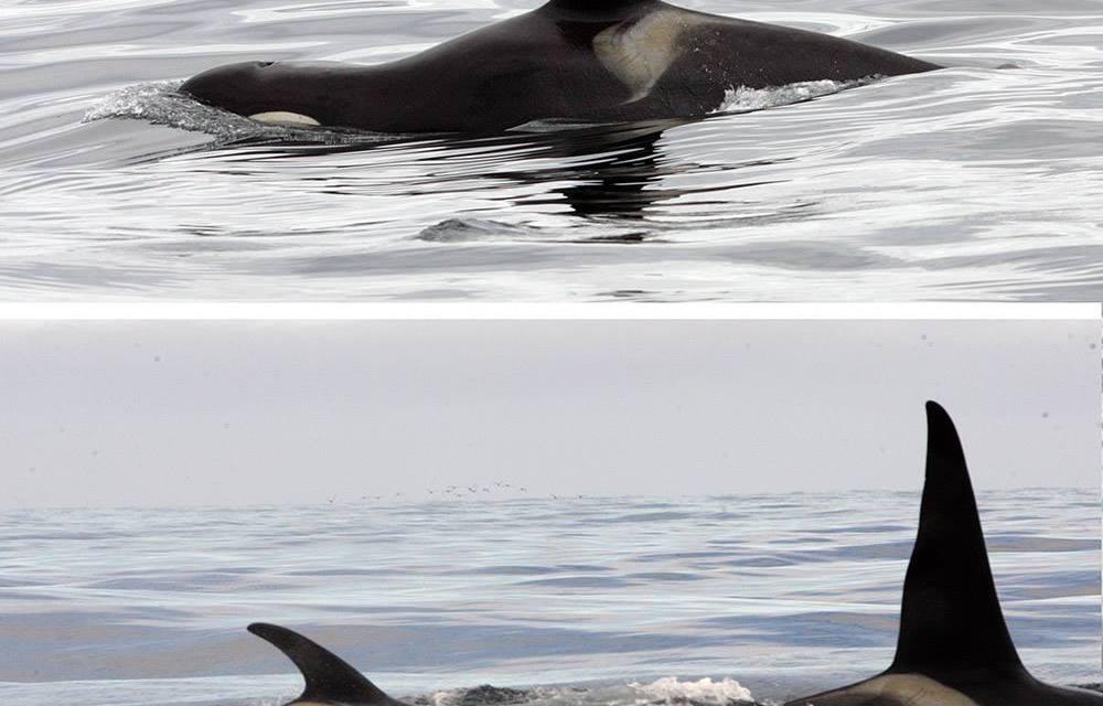 Des orques libres handicapées survivent grâce à l'aide des membres de leur famille…