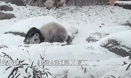 Toronto: VIDEO. Un panda s'amuse à glisser dans la neige