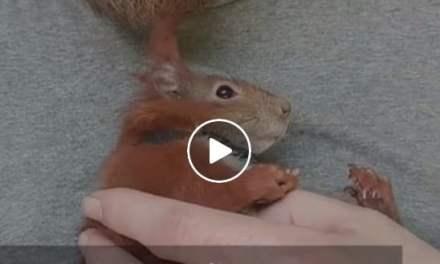 Sauvé d'une chute qui aurait pu lui coûter la vie, ce petit écureuil est devenu inséparable de son sauveur