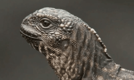 VIDEO. Un iguane échappe miraculeusement aux crochets de dizaines de serpents