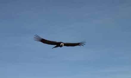 Un condor à Neuquén en Argentine descend des hauteurs pour saluer celui qui a soigné une blessure.