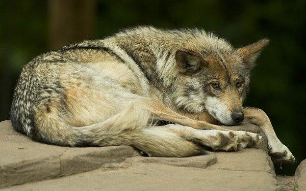La naissance de louveteaux au Mexique soulève des espoirs pour une espèce rare