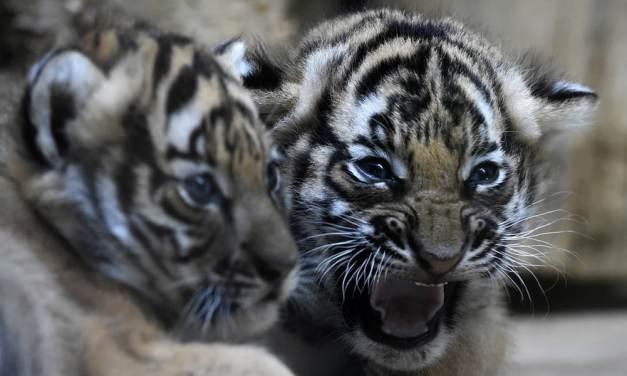 Deux bébés tigres de Malaisie grandissent à Prague