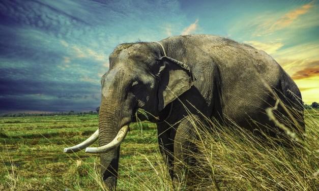 Ces éléphants goûtent à la liberté pour la première fois