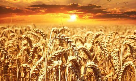 Préserver les semences paysannes en Bretagne