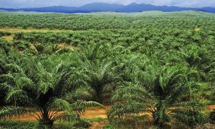 Déjà plus d'un million de vues sur YouTube pour « J'ai vu le scandale de l'huile de palme  », un intelligent, bouleversant, et responsabilisant reportage