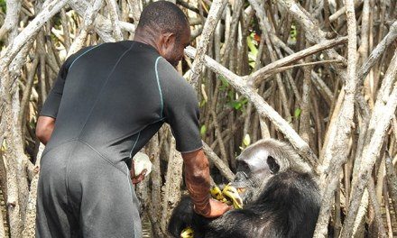 Grâce à vos dons, une vingtaine de chimpanzés pourront être nourris en 2018 par 30 Millions d'Amis