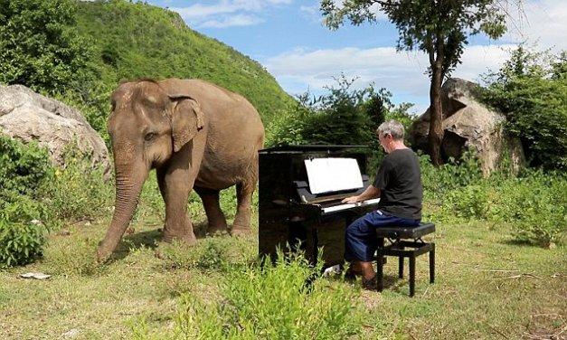 Lam Duan, l'éléphant qui reprend goût à la vie grâce à un homme et son piano.