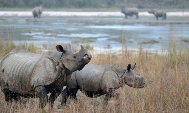 Le Népal pratique la « diplomatie du rhino » avec la Chine