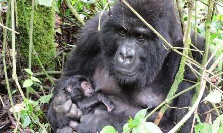 Deux nouveaux bébés gorilles de montagne dans les Virunga