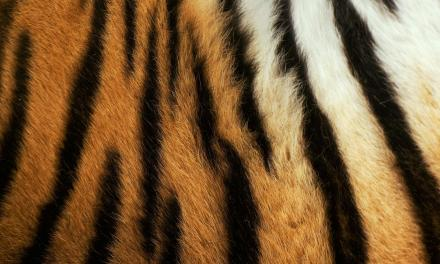 Saikhan, l'histoire d'un jeune tigre miraculé