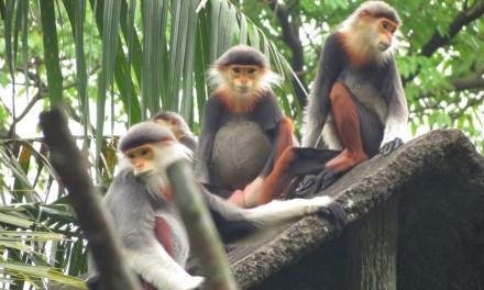 Les Rangers du Vietnam défendent les primates.