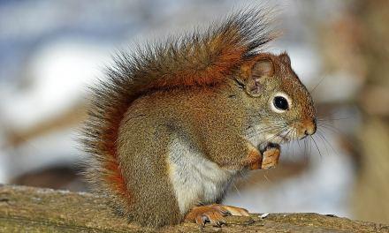 Seymour, l'écureuil qui kiffe les avocats!