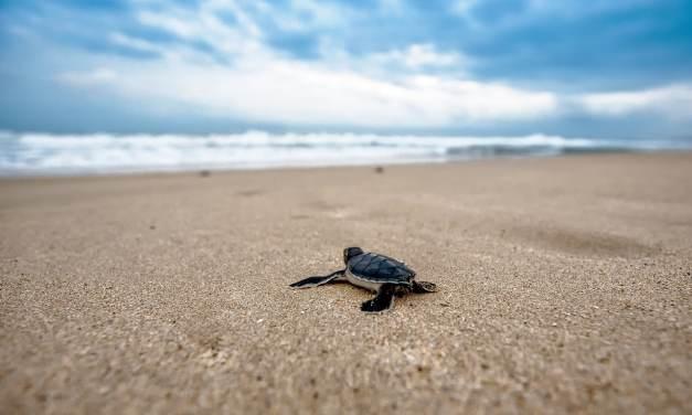 Lâcher de bébés tortues dans le cadre d'un programme de sauvegarde … le grand départ …