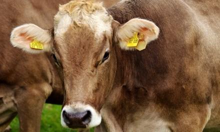Un éleveur de vaches bio décide de libérer ses vaches. Ya que les cons qui ne changent pas d'avis. Bravo