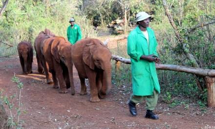 Au Kenya, un sanctuaire prend soin des éléphanteaux orphelins