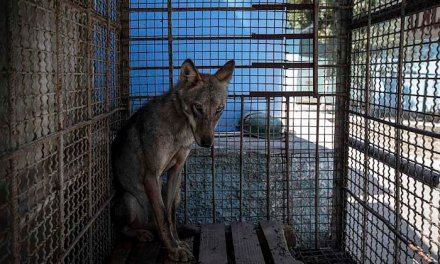 Clap de fin pour le « zoo de l'enfer » en Albanie où des dizaines d'animaux maltraités ont été sauvés.